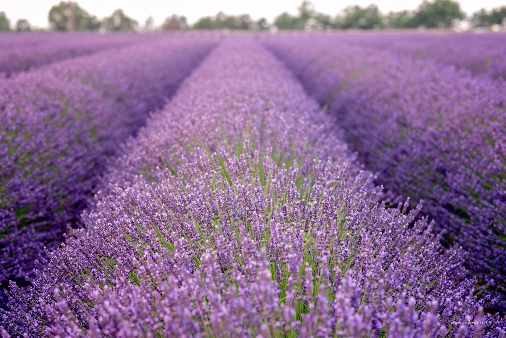 champs lavande provence