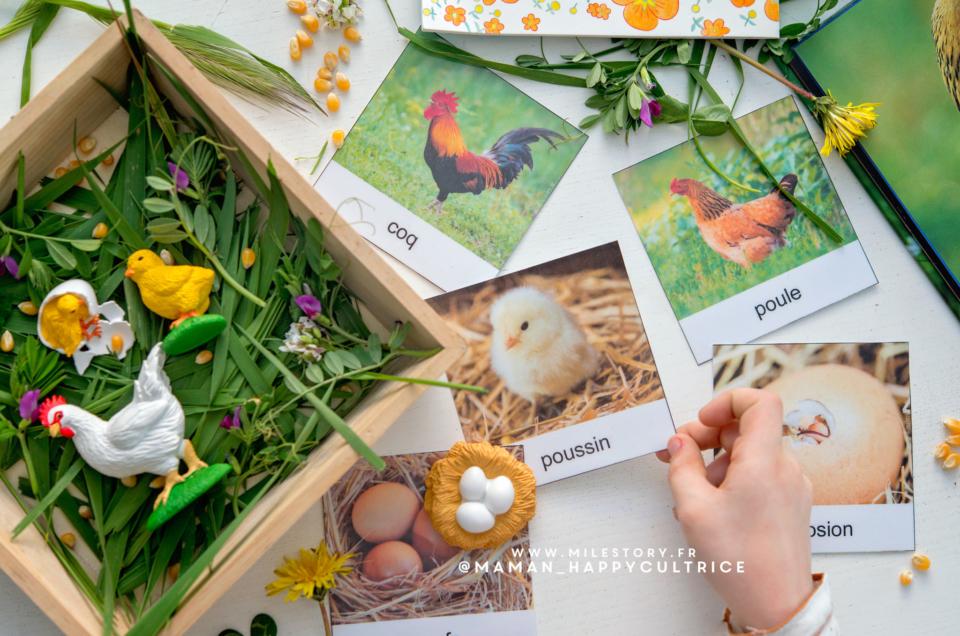 Activités poule en maternelle : cycle de vie poule, morphologie poule …