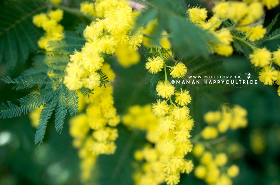 Randonnée mimosas à Tanneron